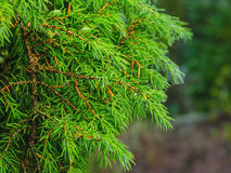 The green branch of juniper. Green juniper branch with a lot of needles Stock Photos
