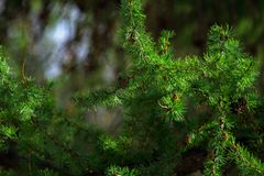 Green branch of larch close-up Stock Photo
