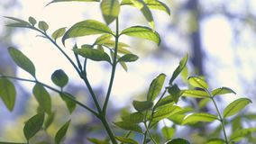 Green branch with leaves on blurred background swaying in the wind. stock video footage