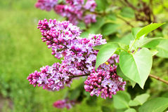 Green branch with lilac flowers Stock Photography