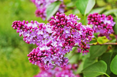 Green branch with lilac flowers Royalty Free Stock Photography