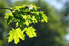 Green branch of a maple Stock Images
