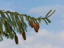 Green branch with mature pine cones Stock Photography