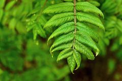 Green branch of a mountain ash Royalty Free Stock Image