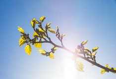 Green branch of the mulberry tree against the shining sun Royalty Free Stock Photography