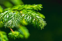 Green branch and needles of a spruce tree royalty free stock images