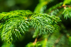 Green branch and needles of a spruce tree Royalty Free Stock Photography