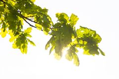 Green branch of the oak tree in the sunshine Royalty Free Stock Photos