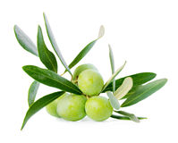 Green branch of olive tree with berries is isolated on white bac stock photos