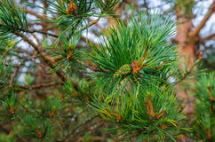 The green branch of pine Stock Photos