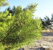 Green branch of the pine tree Stock Photos