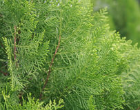 Green branch of pine-tree Royalty Free Stock Photo