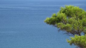 Green branch of pine tree and blue endless sea in background. UHD 4K stock video footage