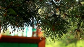Green branch of a pine tree after a rain. stock footage