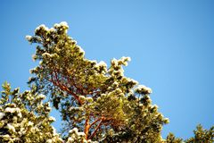 Green branch of pine-tree with sunny snow Royalty Free Stock Images