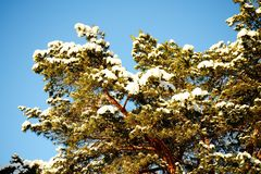 Green branch of pine-tree with sunny snow Stock Images