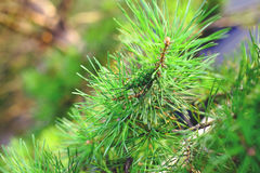Green branch of pine tree witn cone Stock Photo