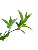 Green branch of plant isolated Stock Images