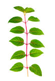 Green branch of seedling fuchsia with drops is isolated on white Stock Photo