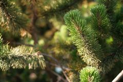 Green branch on small pine tree. Shallow focus Stock Photography