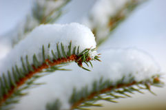 Green branch in snow winter Royalty Free Stock Image