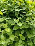 Green branch with spring leaves bush closeup.  Stock Photography