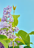 Green branch with spring lilac flowers Stock Images