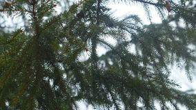 Green branch of spruce close up with water`s drops stock footage