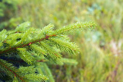 Green branch of spruce covered with droplets of dew Stock Images