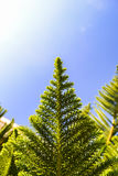 Green branch of a thuja on a blue background in sunny day Royalty Free Stock Images