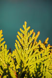 Green branch of a thuja on a blue background in Stock Photos