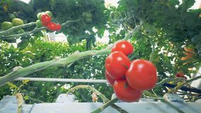 Green branch of a tomato coppice with a tomato cluster on it and frame offset to the left. 4K stock video footage
