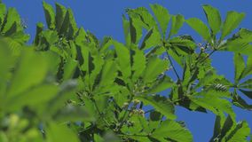 Green branch tree chestnut leaves with sunny blue sky. Green branch tree chestnut leaves with sunny blue the sky stock video footage