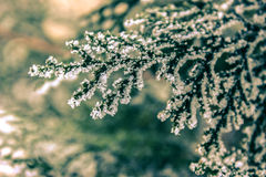 The  green branch of tree in snow crystals Stock Photos