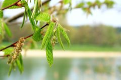 Green branch of a tree in spring, soft focus Royalty Free Stock Photos