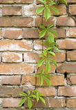 Green branch on the wall. Green branch with new leaves grows on an old brick wall Stock Photo