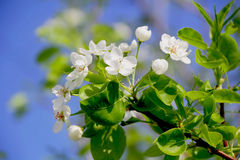 Green branch with white apple flowers Stock Image