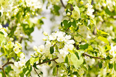 Green branch with white apple flowers Royalty Free Stock Images