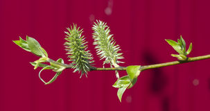 Green branch of a willow Stock Image