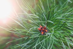 Green branche of a young pine on a background of a rising sun in the summer. Close up stock photos