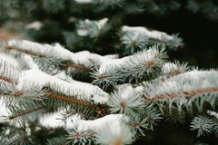 Green branches ate with cones in the snow close-up. Christmas card. Selective focus. Snow weather forecast royalty free stock image