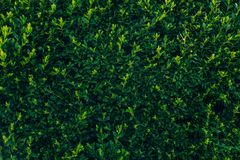 Green branches of boxwood in green park background. buxus bush i. N botanical garden in spring. space for text. springtime. fresh picture stock images