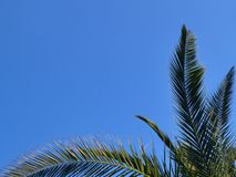 Green branches of Canary Island Date Palm against a bright blue sky royalty free stock photo