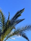Green branches of Canary Island Date Palm against a bright blue sky, vertical frame. Copy space stock photos