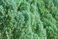 Green branches of Cedar Stock Photography