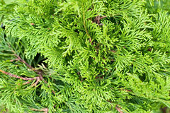 Green branches of Cedar in daylaight Royalty Free Stock Images