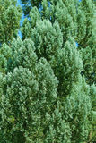 Green branches of Cedar Royalty Free Stock Photography