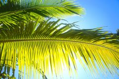 Green branches coconut palm tree against the sky .  Palawan island. Royalty Free Stock Image