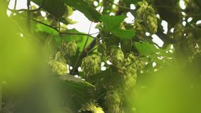 Green branches and cones of hops sway from the wind. On a summer sunny day Slow motion. 1080p full HD video background bokeh stock video footage