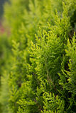 Green branches of a decorative tree. Close-up of spruce branches in forest Royalty Free Stock Photography